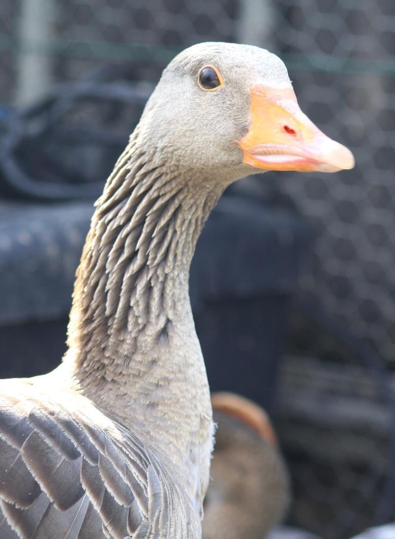 Concours photo t te de canard ou oie page 5 - Couette oie ou canard ...