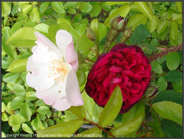 rosier ombrée parfaite