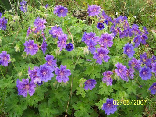 Plantation de g raniums vivaces - Quand rentrer les geraniums ...