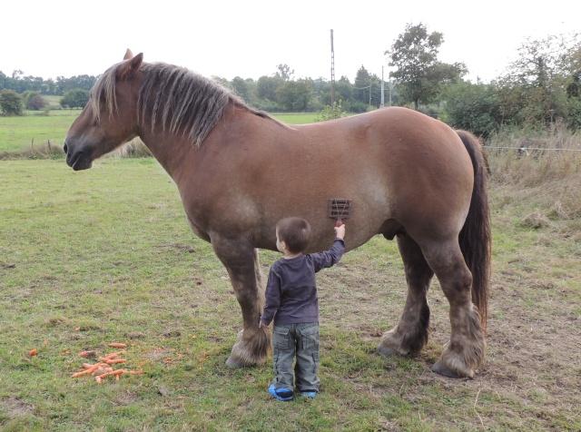 cheval de trait ardennais a donner