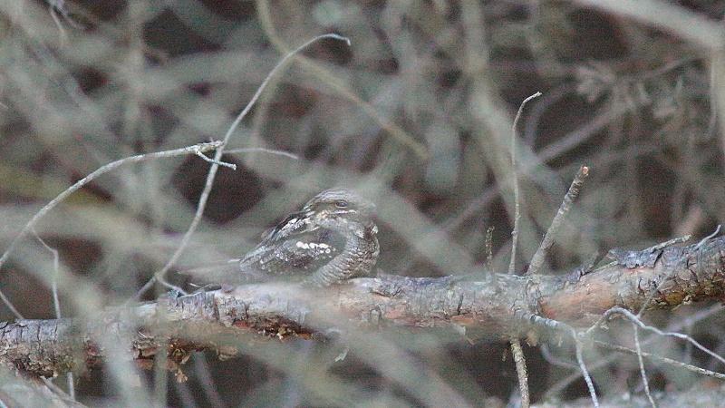 L'oiseau mystérieux... L'Engoulevent...(photos et vidéos)