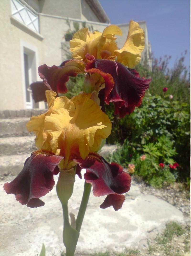 Iris page 2 - Iris ne fleurissent pas ...