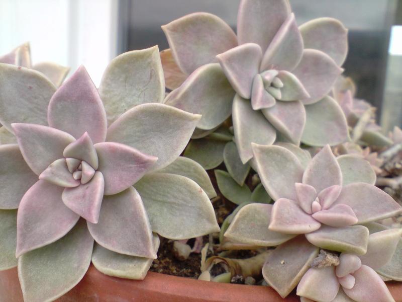 plante grasse porcelaine