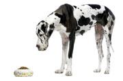 ostéodystrophie hypertrophique chien