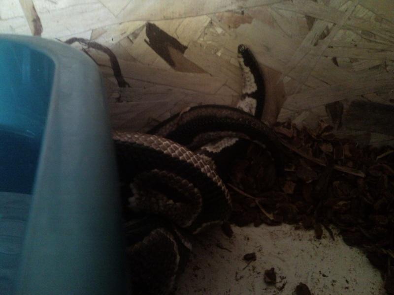 Mâle python