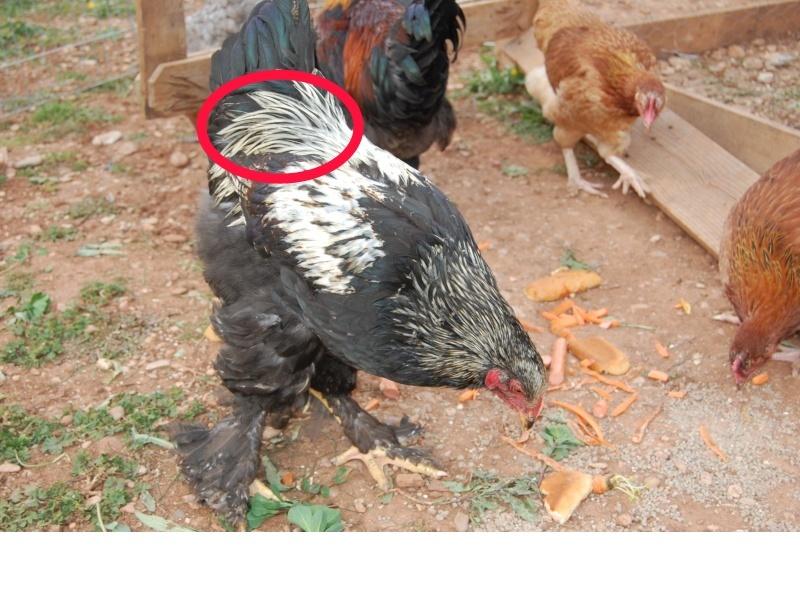 poule brahma de 4 mois