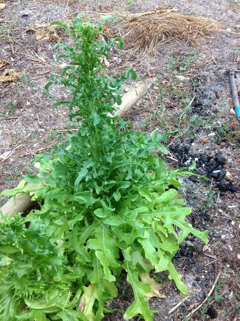 Des photos de nos jardins - Salade a couper qui repousse ...