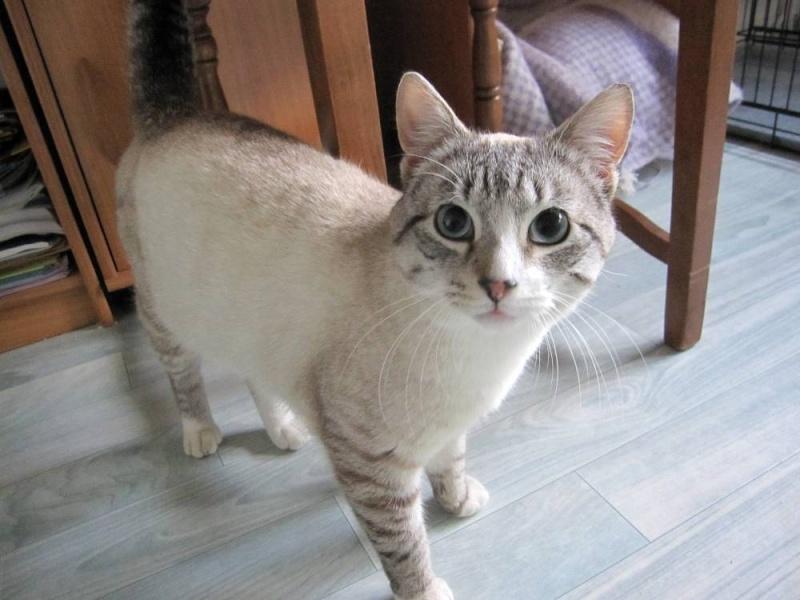 chat européen poids adulte kamloops