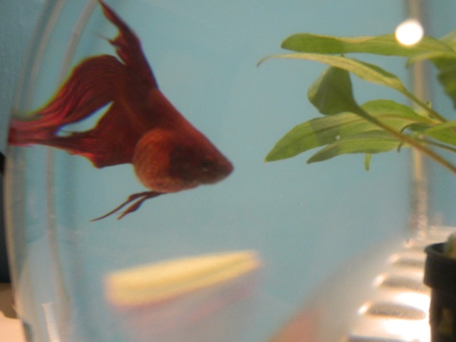 Help pour combattant forum poissons for Petit aquarium boule